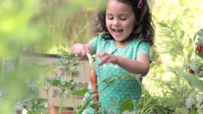 Little girl picks carrots from the garden