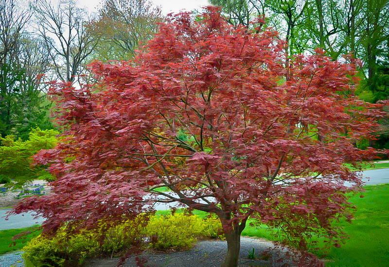 sherwood flame tree