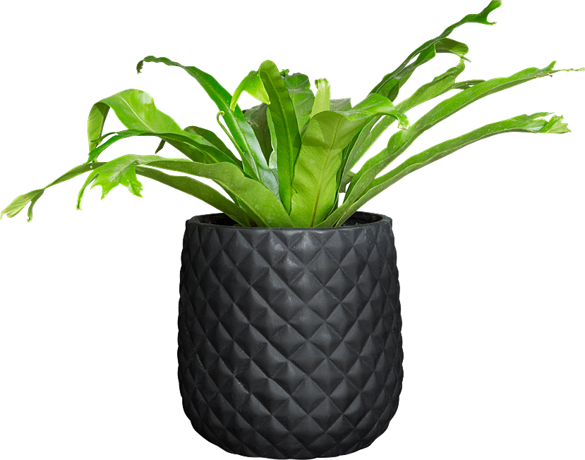 South Africa - [3] Potted Asplenium Crissie.png