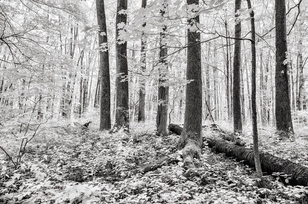White-and-black LDS art photo of the Sacred Grove.