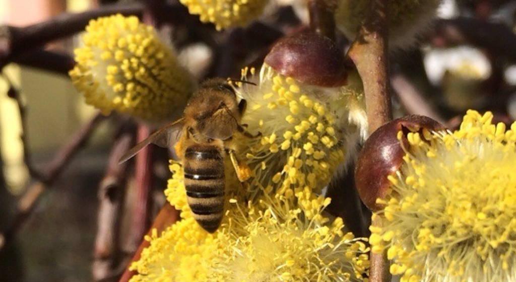 Eine Biene die Pollen am Weidekätzchen der Salweide sammelt.