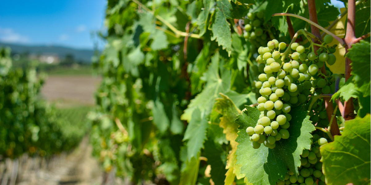 Close up of grape vine highlighting the process whereby animal products come into winemaking.