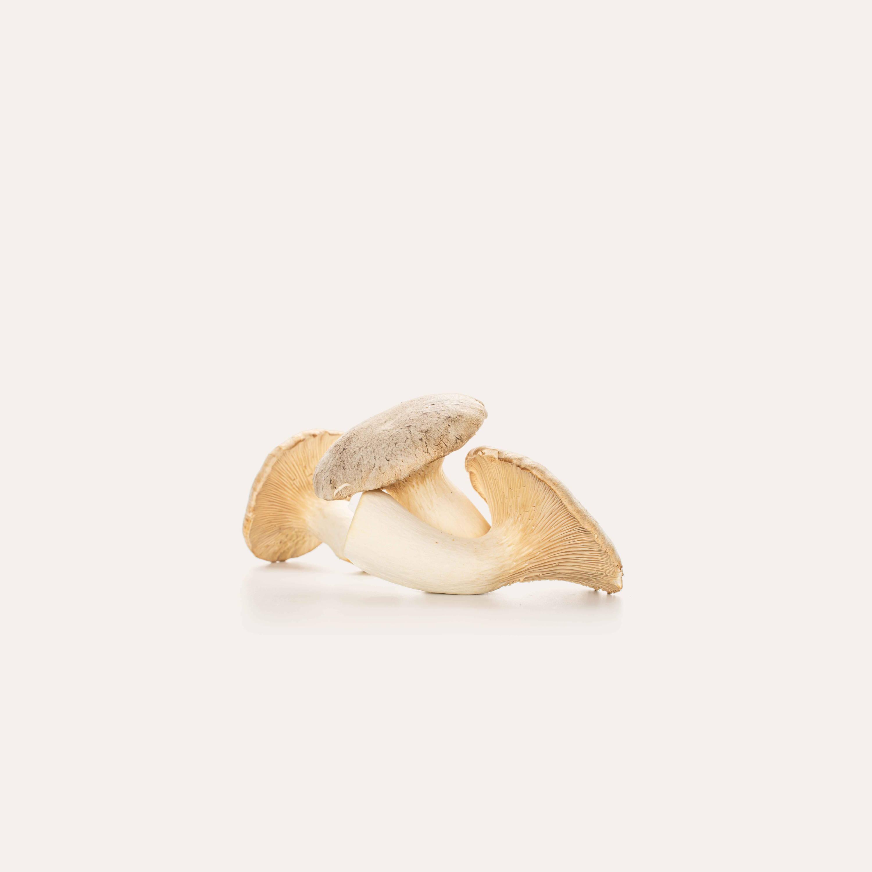 King Trumpet mushroom on solid background