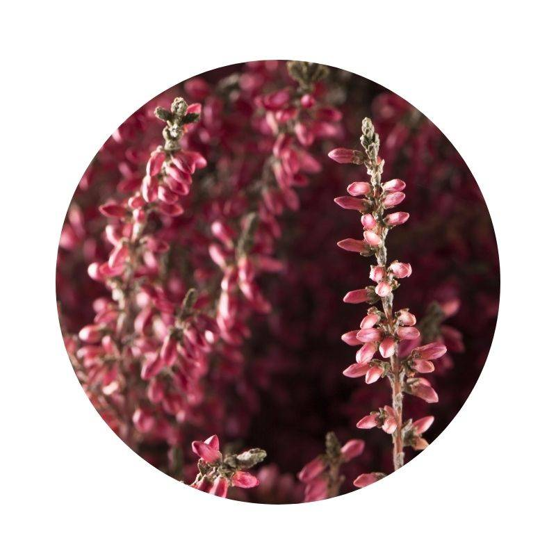HEIDEKRAUT Calluna vulgaris Heilpflanzen Heilkräuter Lexikon Heilwirkung Wirkung