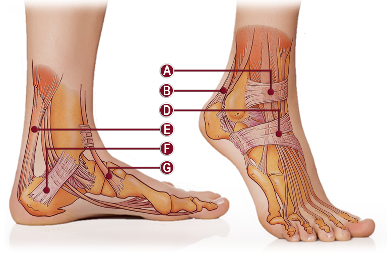 TENDONS & LIGAMENTS OF THE ANKLE ANATOMY ILLUSTRATION