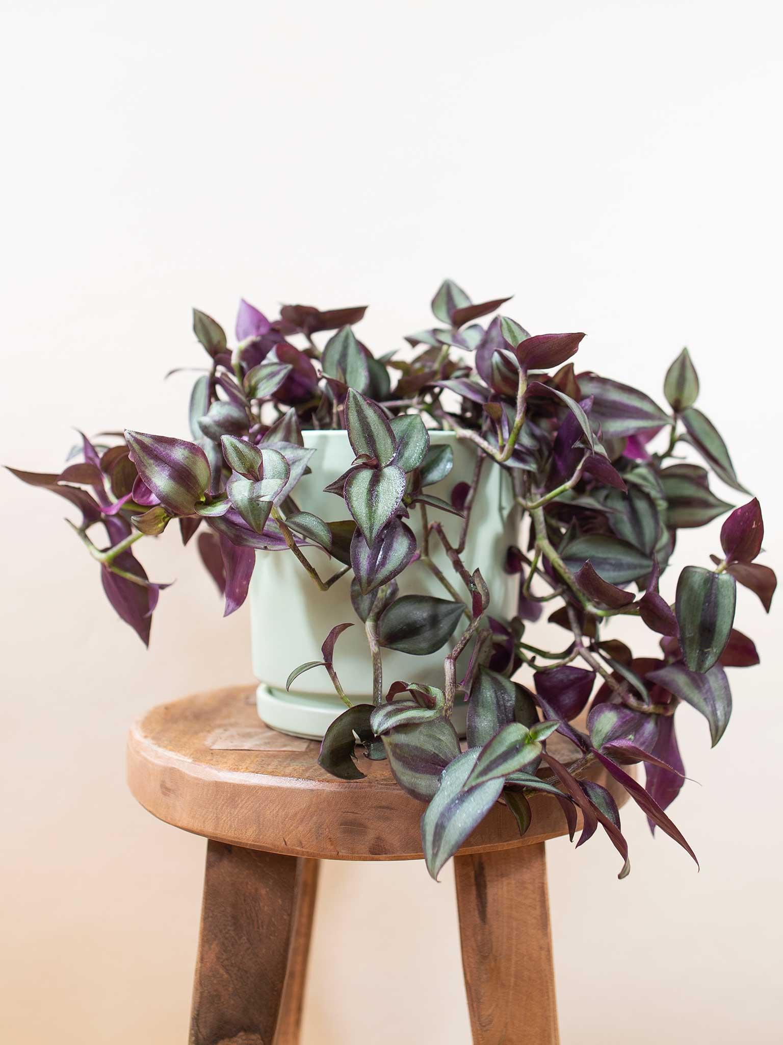 Photo of the Zebrina plant on a stool
