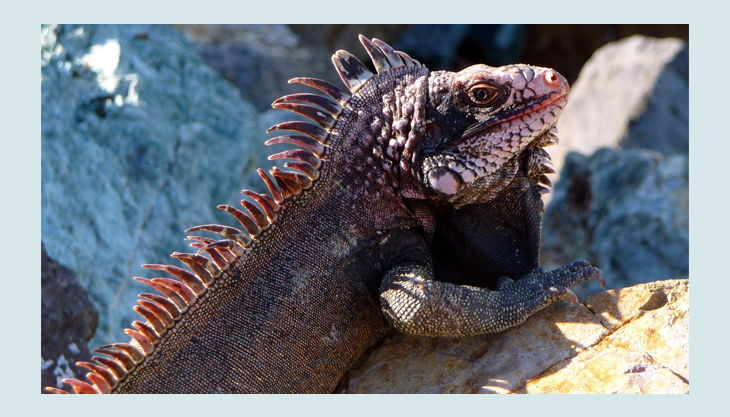 tier iguana