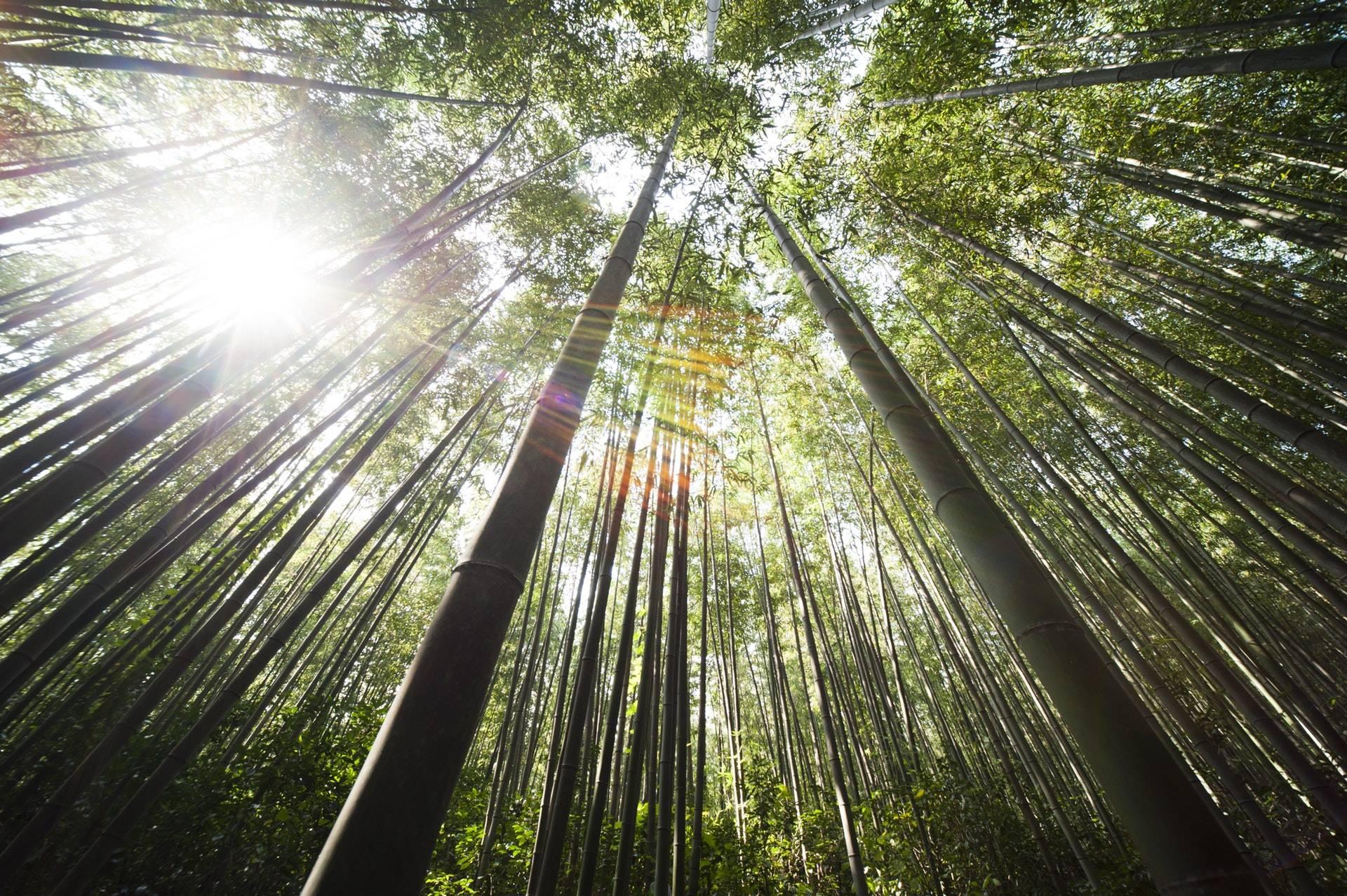 bambou-moso-écologique-et-naturel