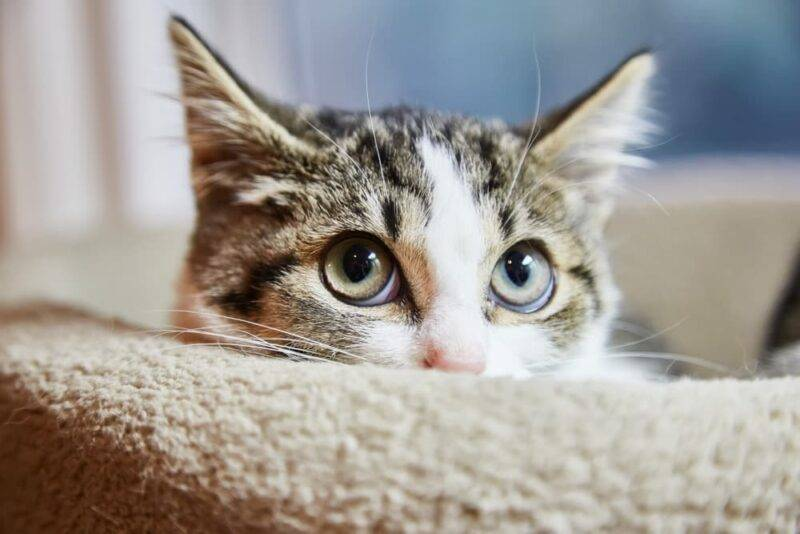 cat-bed-cbd-cannabidiol-for-cat-anxiety