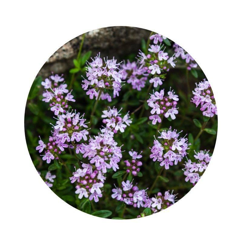 FELDTHYMIAN Thymus pulegioides Heilpflanzen Heilkräuter Lexikon Heilwirkung Wirkung