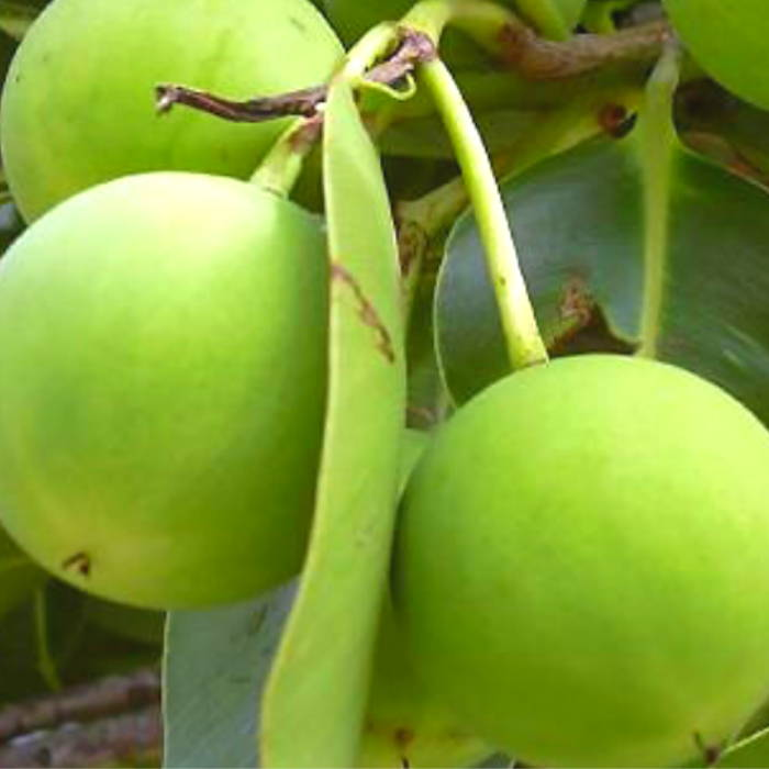 Plant based skincare. Tamanu