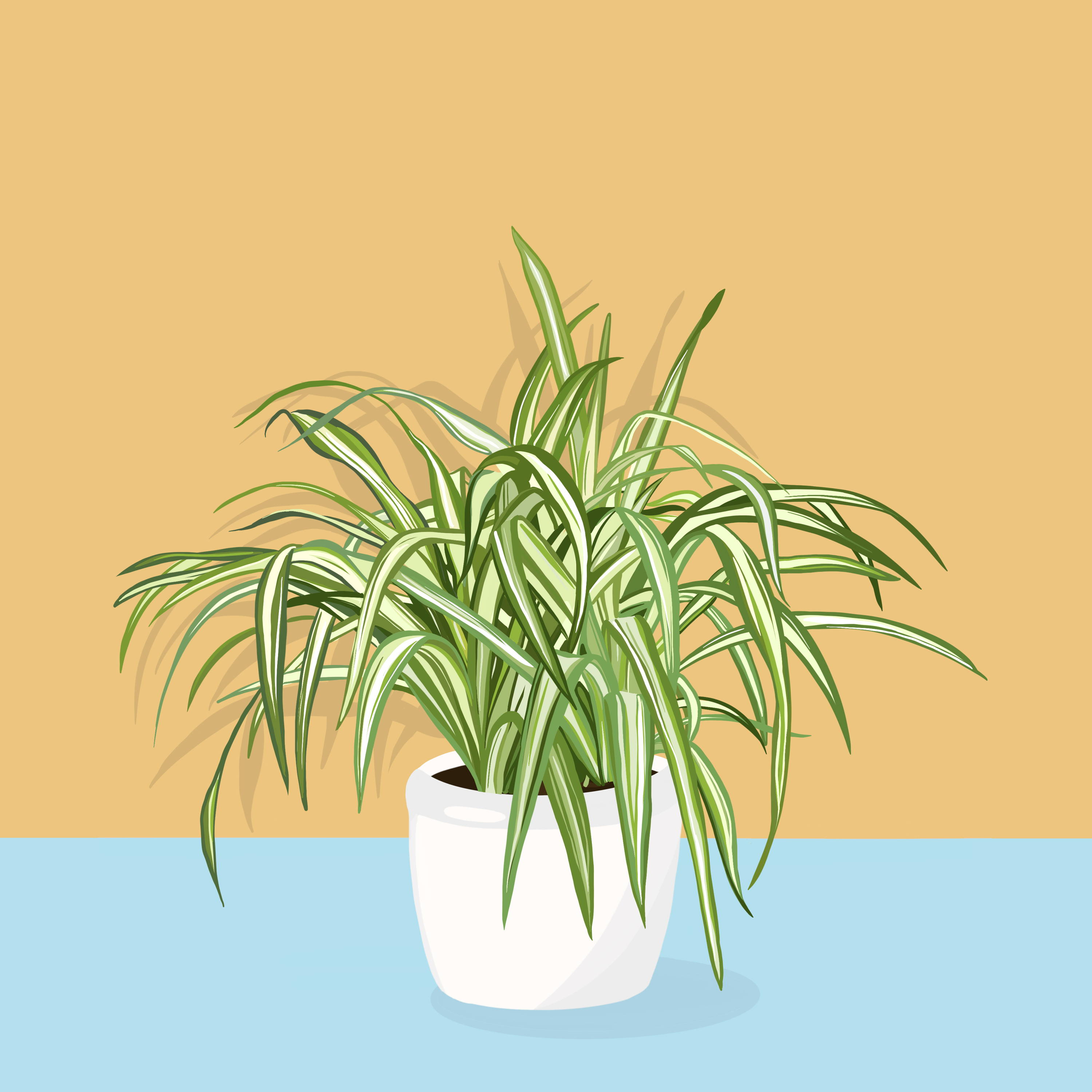 Drawing of Spider Plant
