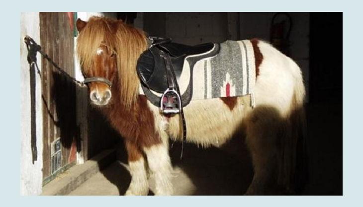 bauernhof gut halfeshof b pony im stall