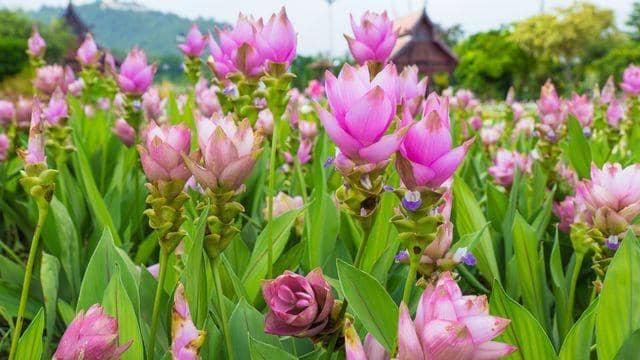Fleurs curcuma