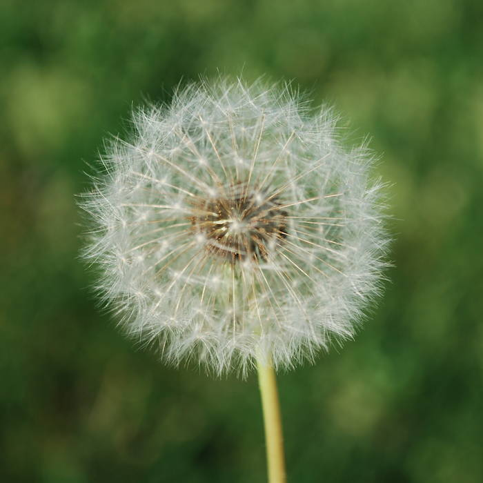 Close up of a dandelion against a blurred green background of foliage.