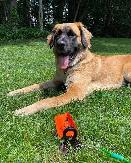 Saker tie-out stake to hold 90pound rescue dog