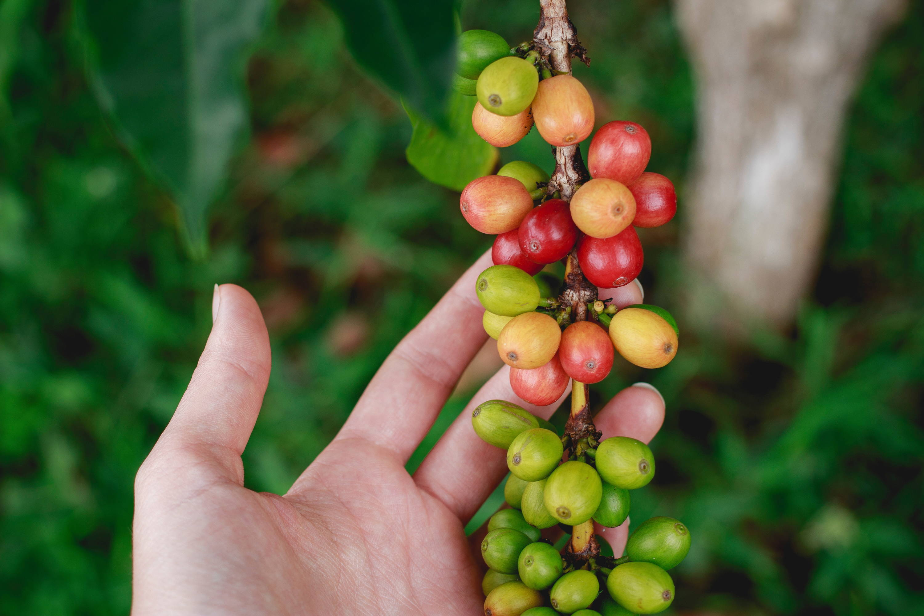 Mexico Coffee Region