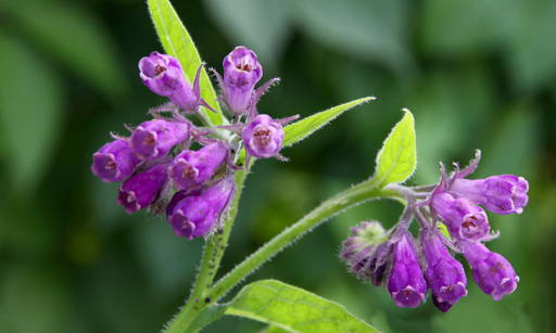 Comfrey Extract A medicinal plant from the borage family. It grows in Europe and