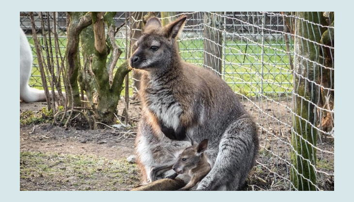 rolfs streichelzoo känguru und jungtier