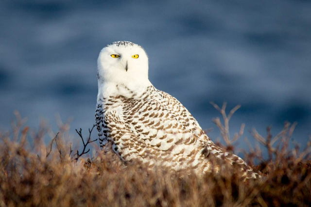 Cape Spear Owl