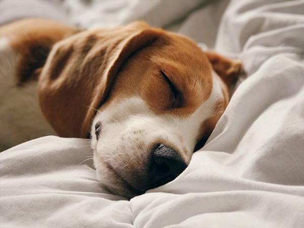 Hund schläft im Bett