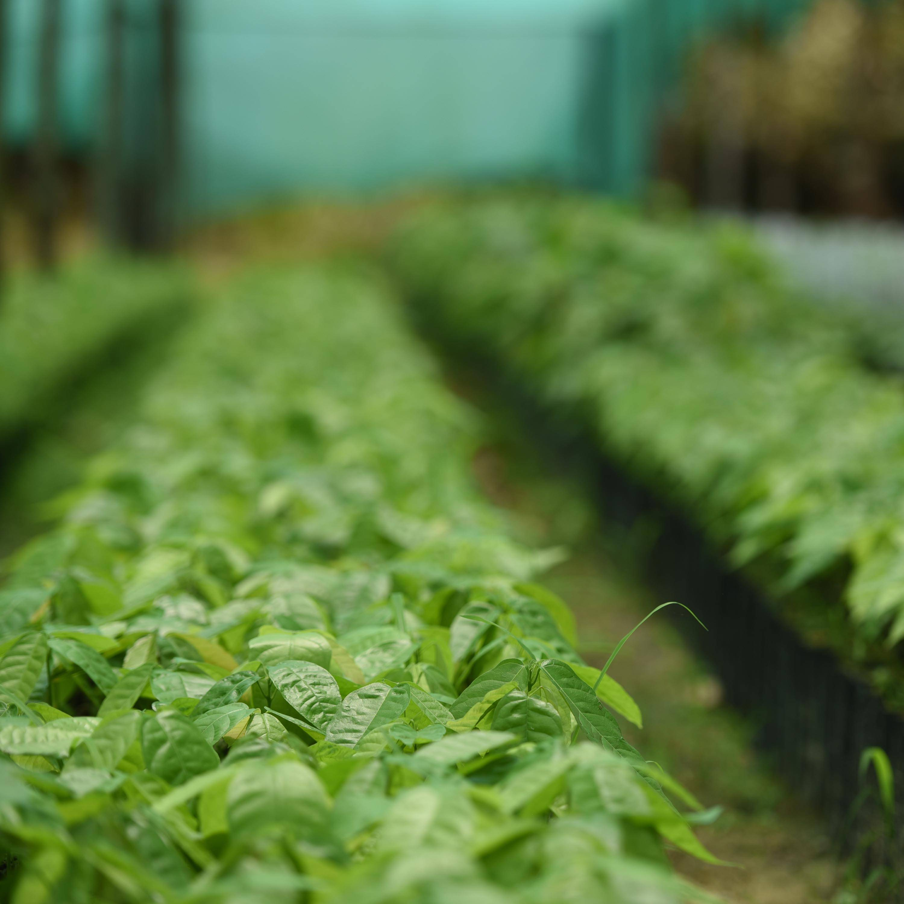 Rows of green plants image