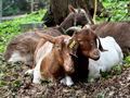 Donate $200: Nurture our Goats