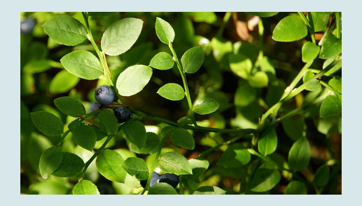 naturgut ophoven blaubeeren blueberry pxb