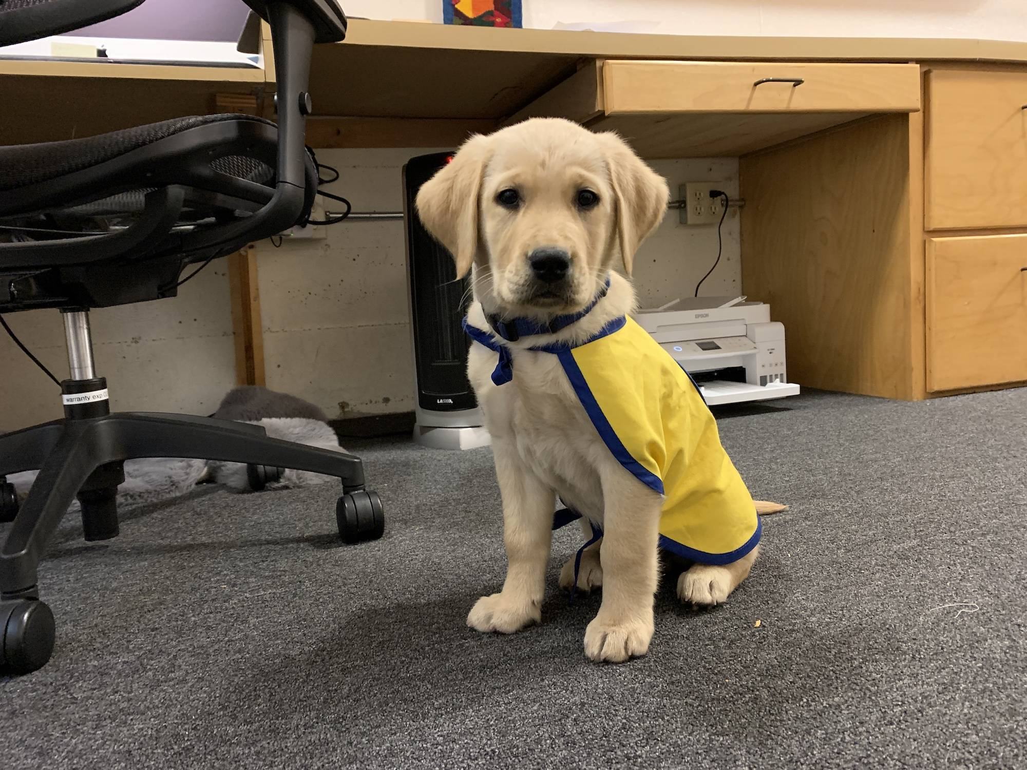 service dog in training epic sponsored by Every Tiny Thing first day in his cape at the office