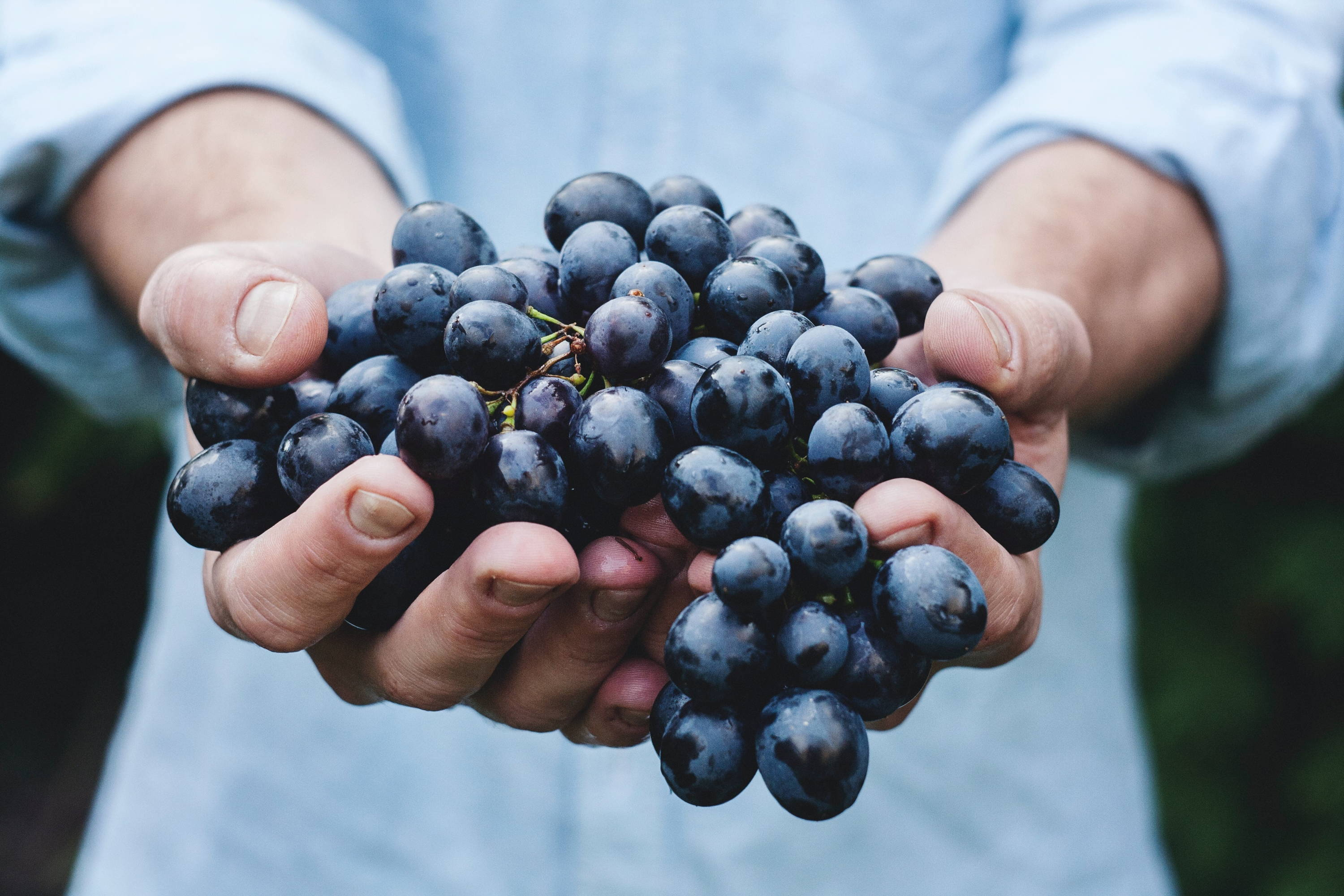Close up of Nebbiolo grape variety in the hands of a man displaying its light colour.