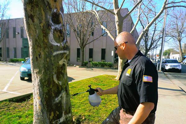 removing graffiti from a tree using bare brick stone and masonry graffiti remover