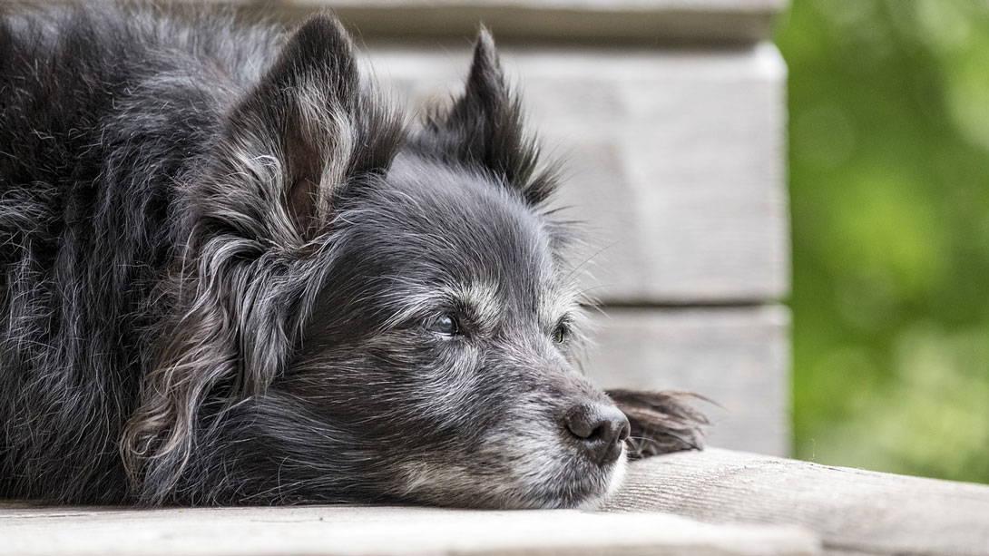Bei alten Hunden ist das Nierenkrebs-Risiko größer