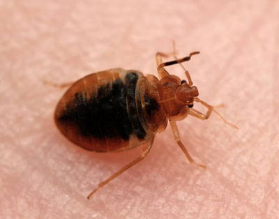 Premo Guard Bed bug Spray - Picture of bed bug on skin