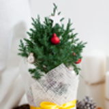 Mini Christmas. Живые хвойные