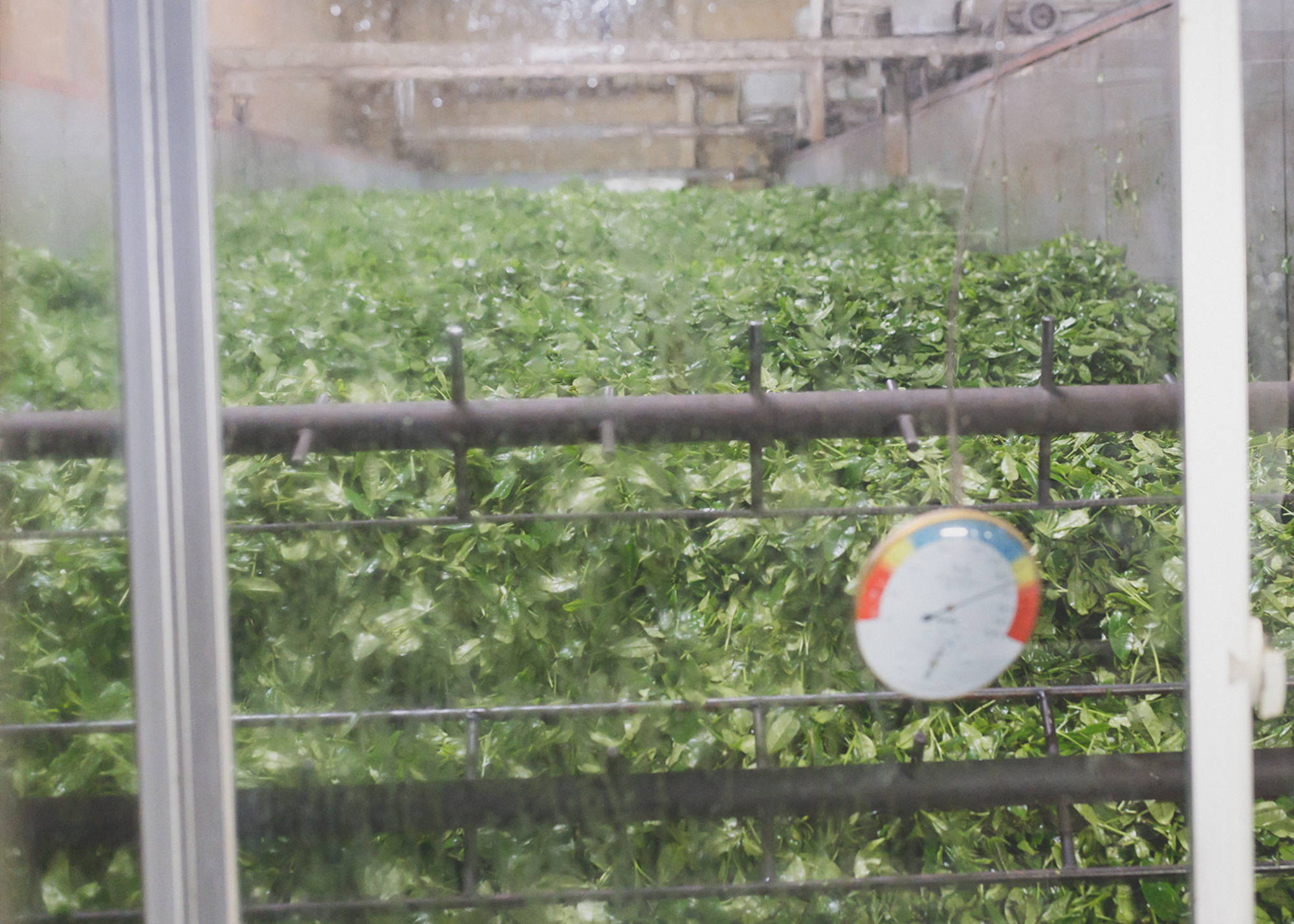 Matcha tea leaves   Japanese Tea farm