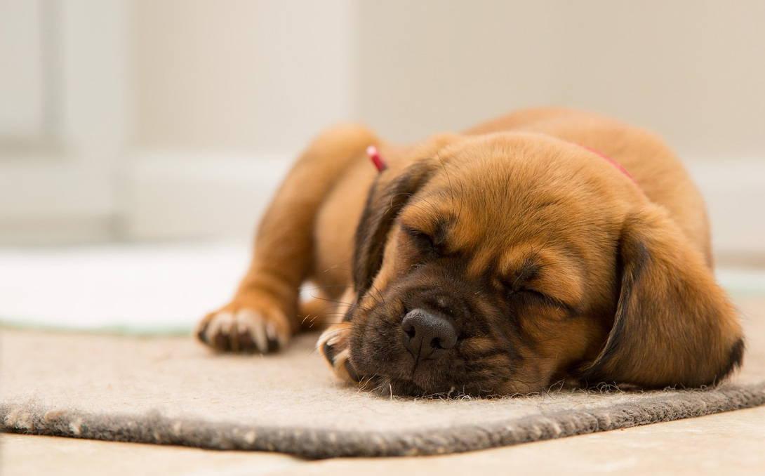 Parvovirose beim Hund - Titelbild