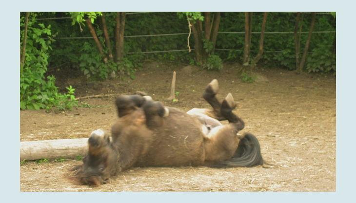 ponnyland a pferd rollt sich