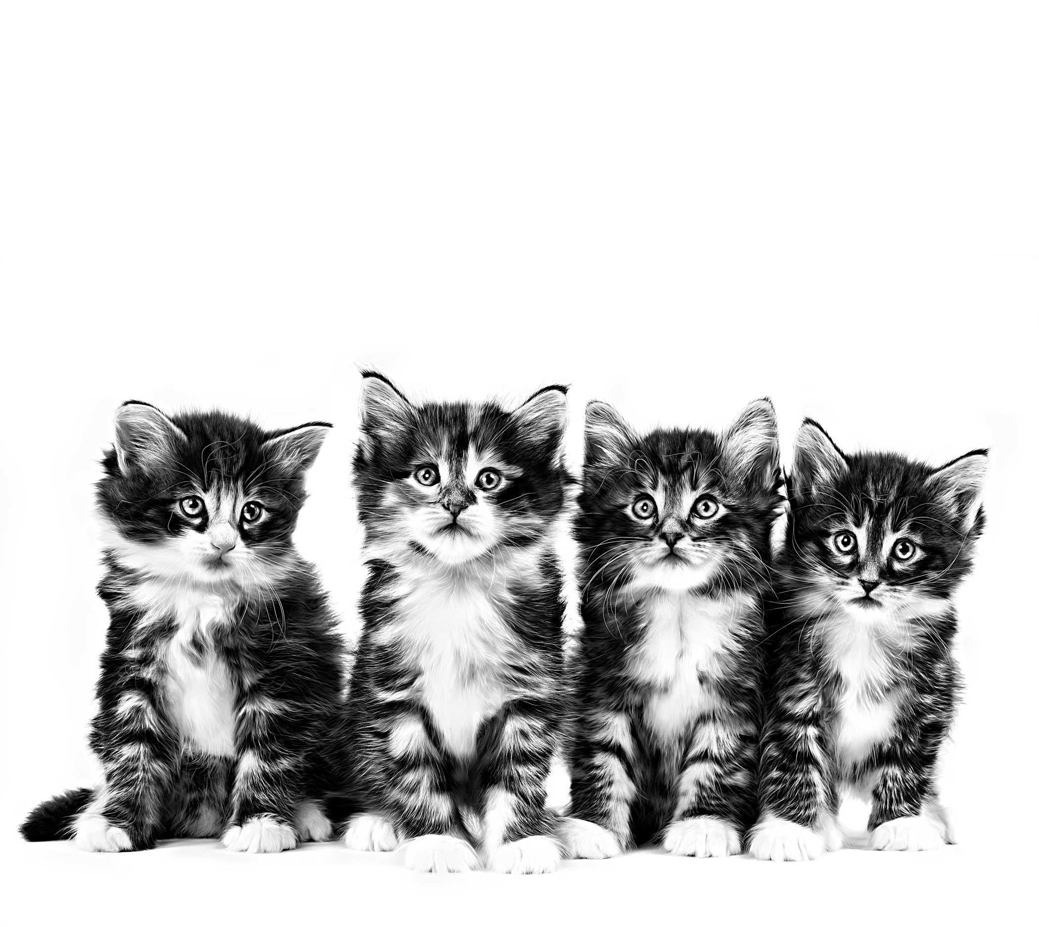 Kettlingar af tegundinni norskir skógarkettir - Norwegian Forest Cat