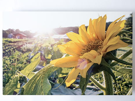 Waltham Fields Sunflower Metal Print