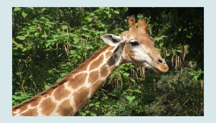 zoo dortmund giraffe