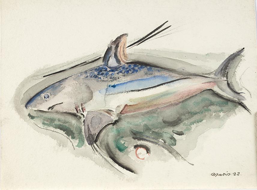Marin, Shark