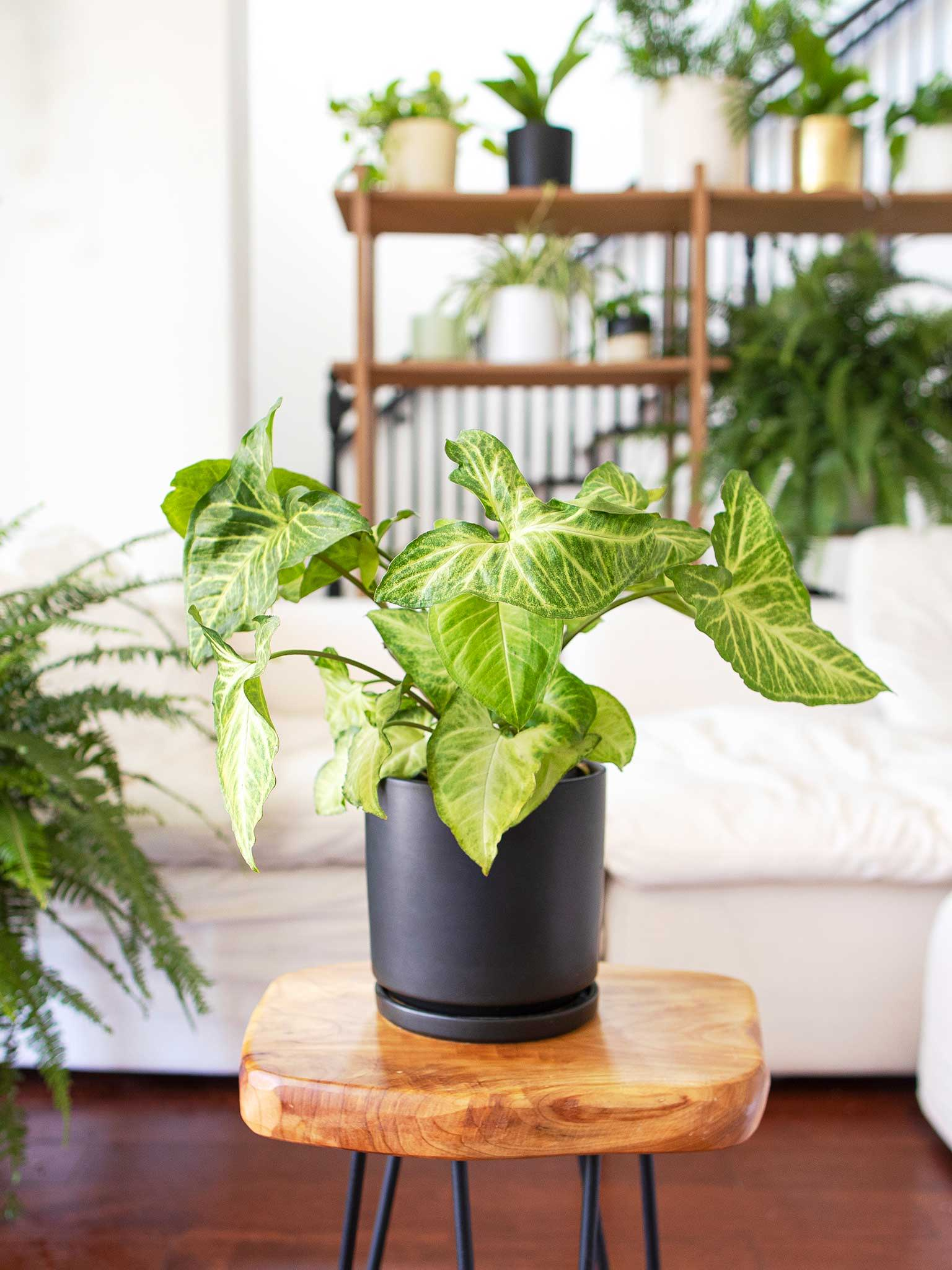 Potted white butterfly arrowhead plant