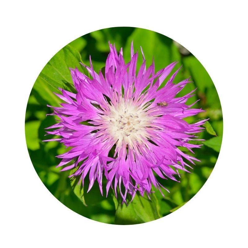 MARAL Rhaponticum carthamoides Heilpflanzen Heilkräuter Lexikon Heilwirkung Wirkung