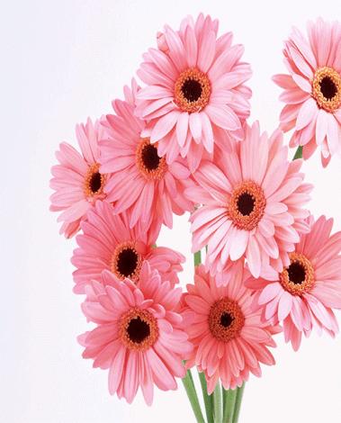 hf Pink Gerberas Bouquet