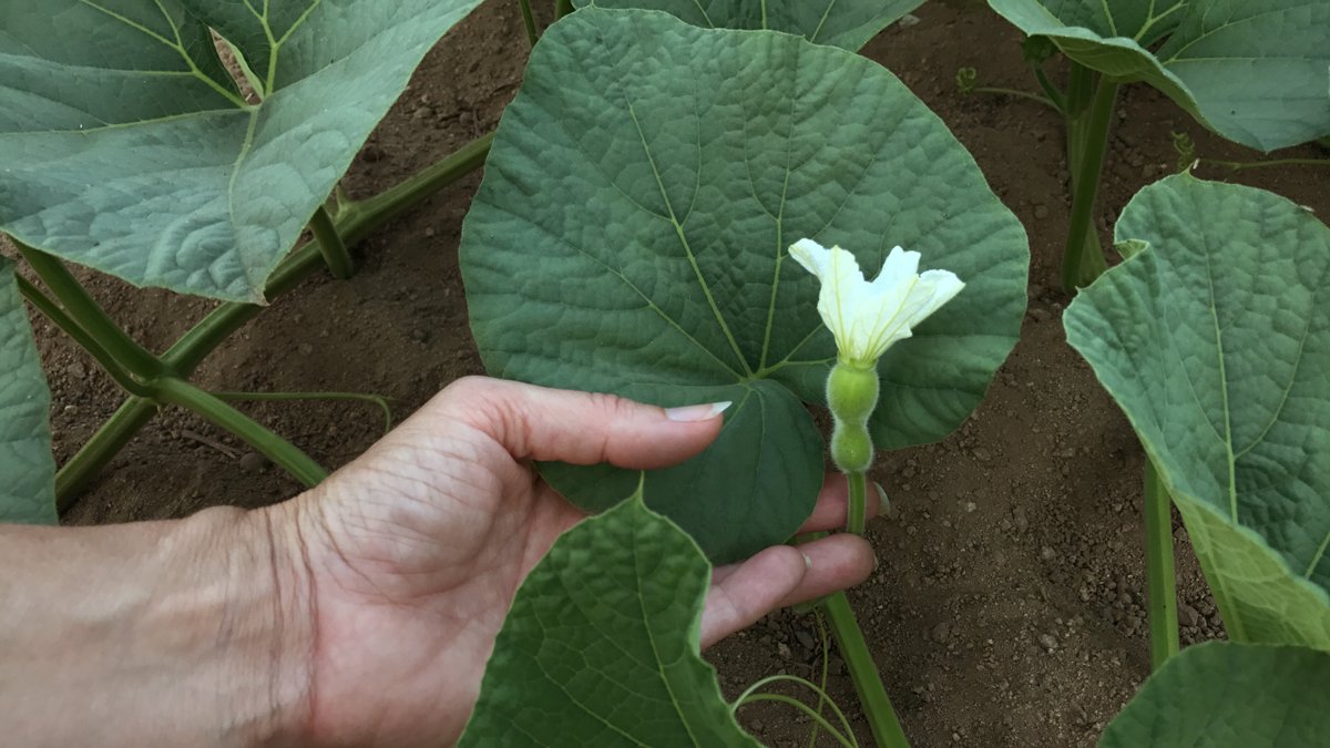 Gourds will not mature on vine