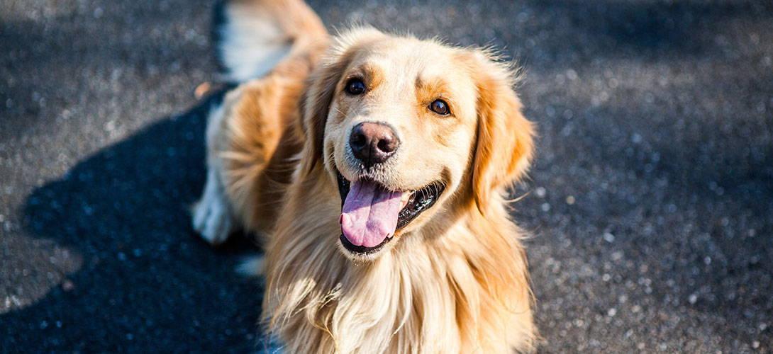 Ruhige Hunderassen - Golden Retriever - Titelbild