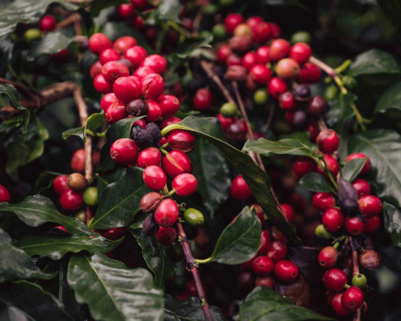 certified organic honduran green bean that is direct trade