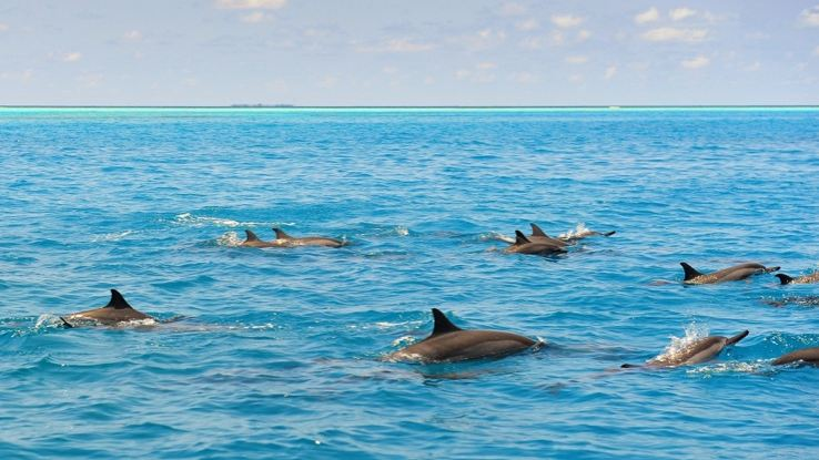 Dolphins of the Maldives