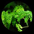 moringa leaf health benefits | Dendera Naturally