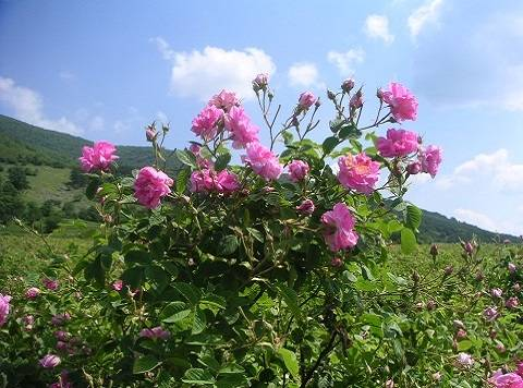 Bulgarian Rose Oil - Bulk Wholesale